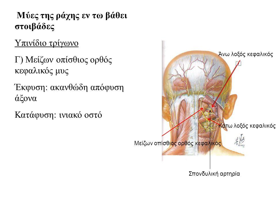 Μύες της ράχης εν τω βάθει στοιβάδες Υπινίδιο τρίγωνο Γ) Μείζων οπίσθιος ορθός κεφαλικός μυς Έκφυση: ακανθώδη απόφυση άξονα Κατάφυση: ινιακό οστό Άνω λοξός κεφαλικός Κάτω λοξός κεφαλικός Μείζων οπίσθιος ορθός κεφαλικός Σπονδυλική αρτηρία