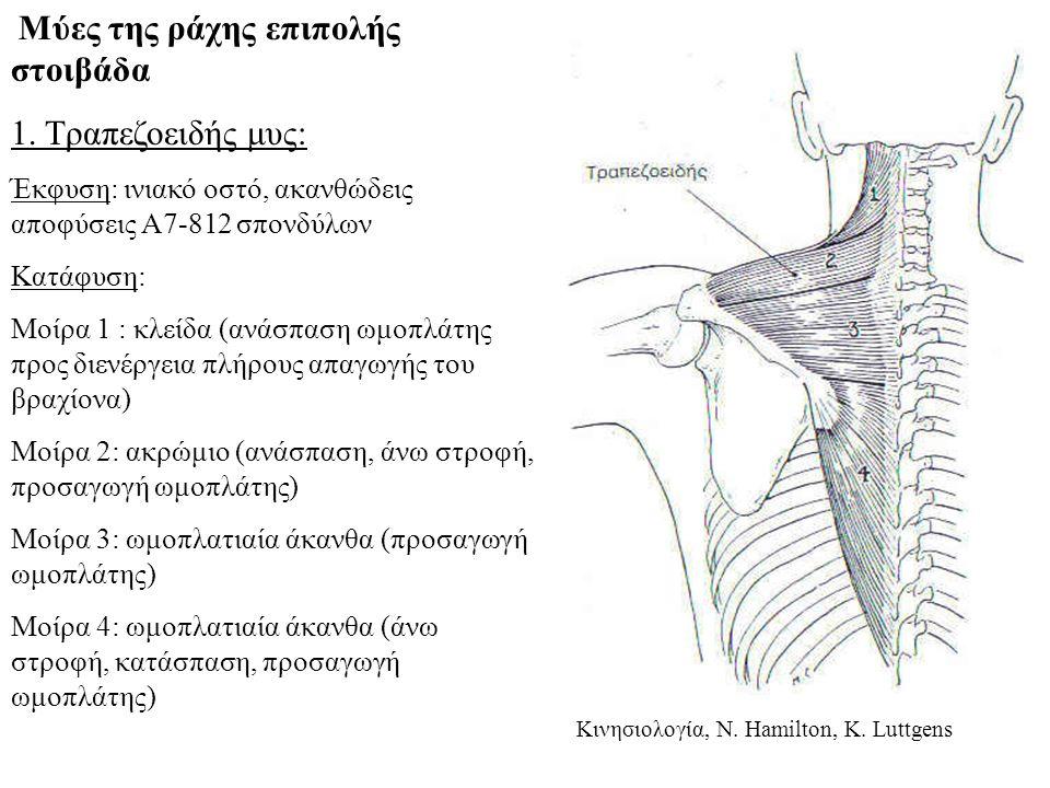 Μύες της ράχης επιπολής στοιβάδα 1.