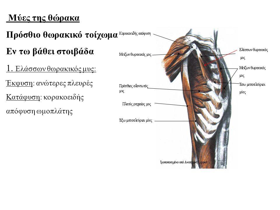 Μύες της θώρακα Πρόσθιο θωρακικό τοίχωμα Εν τω βάθει στοιβάδα 1.