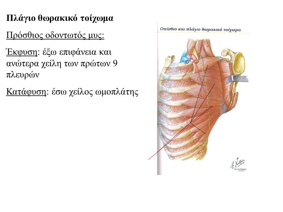 Πλάγιο θωρακικό τοίχωμα Πρόσθιος οδοντωτός μυς: Έκφυση: έξω επιφάνεια και ανώτερα χείλη των πρώτων 9 πλευρών Κατάφυση: έσω χείλος ωμοπλάτης