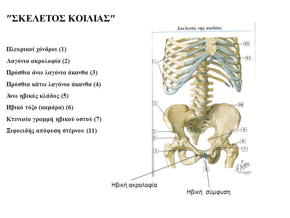 ″ΣΚΕΛΕΤΟΣ ΚΟΙΛΙΑΣ″ Πλευρικοί χόνδροι (1) Λαγόνια ακρολοφία (2) Πρόσθια άνω λαγόνια άκανθα (3) Πρόσθια κάτω λαγόνια άκανθα (4) Άνω ηβικός κλάδος (5) Ηβικό τόξο (καμάρα) (6) Κτενιαία γραμμή ηβικού οστού (7) Ξιφοειδής απόφυση στέρνου (11) Ηβική ακρολοφία Ηβική σύμφυση