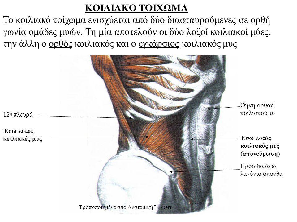 ΚΟΙΛΙΑΚΟ ΤΟΙΧΩΜΑ Το κοιλιακό τοίχωμα ενισχύεται από δύο διασταυρούμενες σε ορθή γωνία ομάδες μυών.