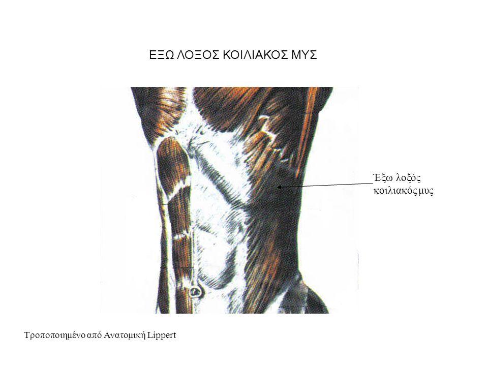 Έξω λοξός κοιλιακός μυς Τροποποιημένο από Ανατομική Lippert ΕΞΩ ΛΟΞΟΣ ΚΟΙΛΙΑΚΟΣ ΜΥΣ