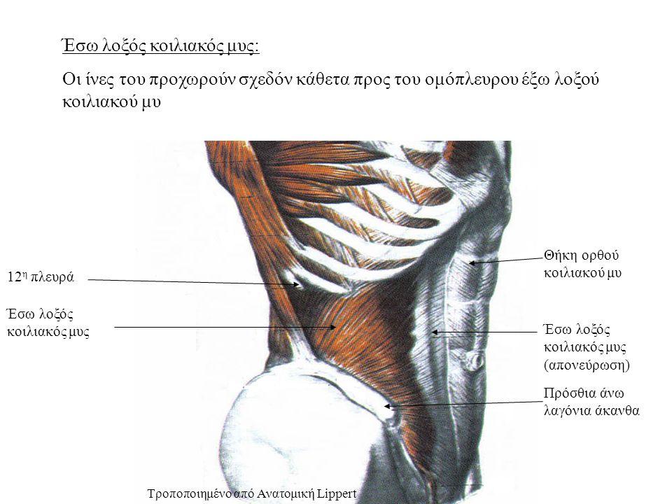 Έσω λοξός κοιλιακός μυς: Οι ίνες του προχωρούν σχεδόν κάθετα προς του ομόπλευρου έξω λοξού κοιλιακού μυ Θήκη ορθού κοιλιακού μυ Έσω λοξός κοιλιακός μυς (απονεύρωση) Πρόσθια άνω λαγόνια άκανθα 12 η πλευρά Έσω λοξός κοιλιακός μυς Τροποποιημένο από Ανατομική Lippert