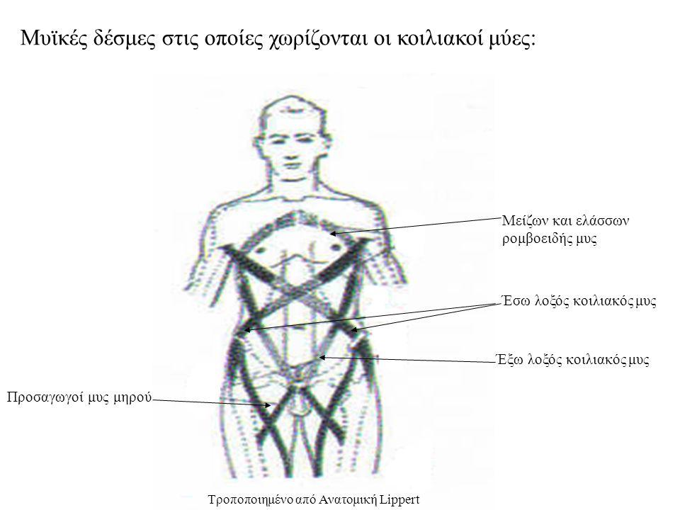 Μυϊκές δέσμες στις οποίες χωρίζονται οι κοιλιακοί μύες: Έσω λοξός κοιλιακός μυς Έξω λοξός κοιλιακός μυς Μείζων και ελάσσων ρομβοειδής μυς Προσαγωγοί μυς μηρού Τροποποιημένο από Ανατομική Lippert