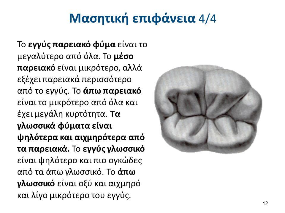 Μασητική επιφάνεια 4/4 Το εγγύς παρειακό φύμα είναι το μεγαλύτερο από όλα. Το μέσο παρειακό είναι μικρότερο, αλλά εξέχει παρειακά περισσότερο από το ε