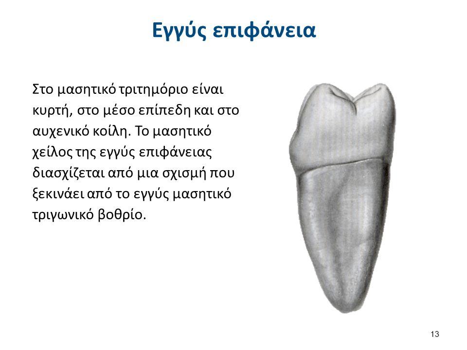 Εγγύς επιφάνεια Στο μασητικό τριτημόριο είναι κυρτή, στο μέσο επίπεδη και στο αυχενικό κοίλη. Το μασητικό χείλος της εγγύς επιφάνειας διασχίζεται από
