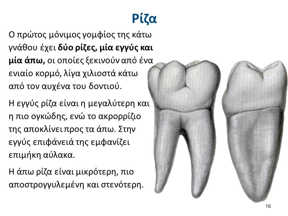 Ρίζα Ο πρώτος μόνιμος γομφίος της κάτω γνάθου έχει δύο ρίζες, μία εγγύς και μία άπω, οι οποίες ξεκινούν από ένα ενιαίο κορμό, λίγα χιλιοστά κάτω από τον αυχένα του δοντιού.