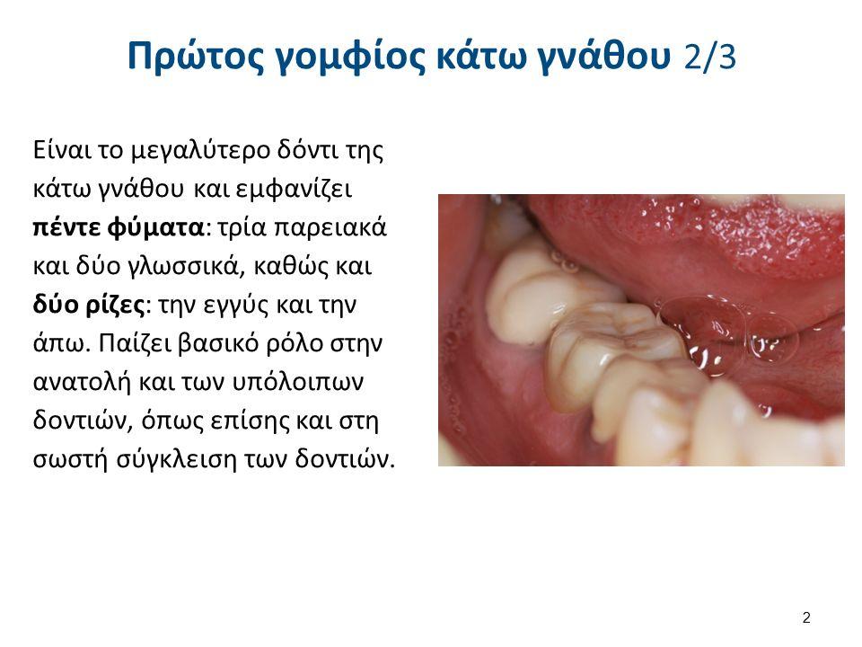 Πρώτος γομφίος κάτω γνάθου 2/3 Είναι το μεγαλύτερο δόντι της κάτω γνάθου και εμφανίζει πέντε φύματα: τρία παρειακά και δύο γλωσσικά, καθώς και δύο ρίζ