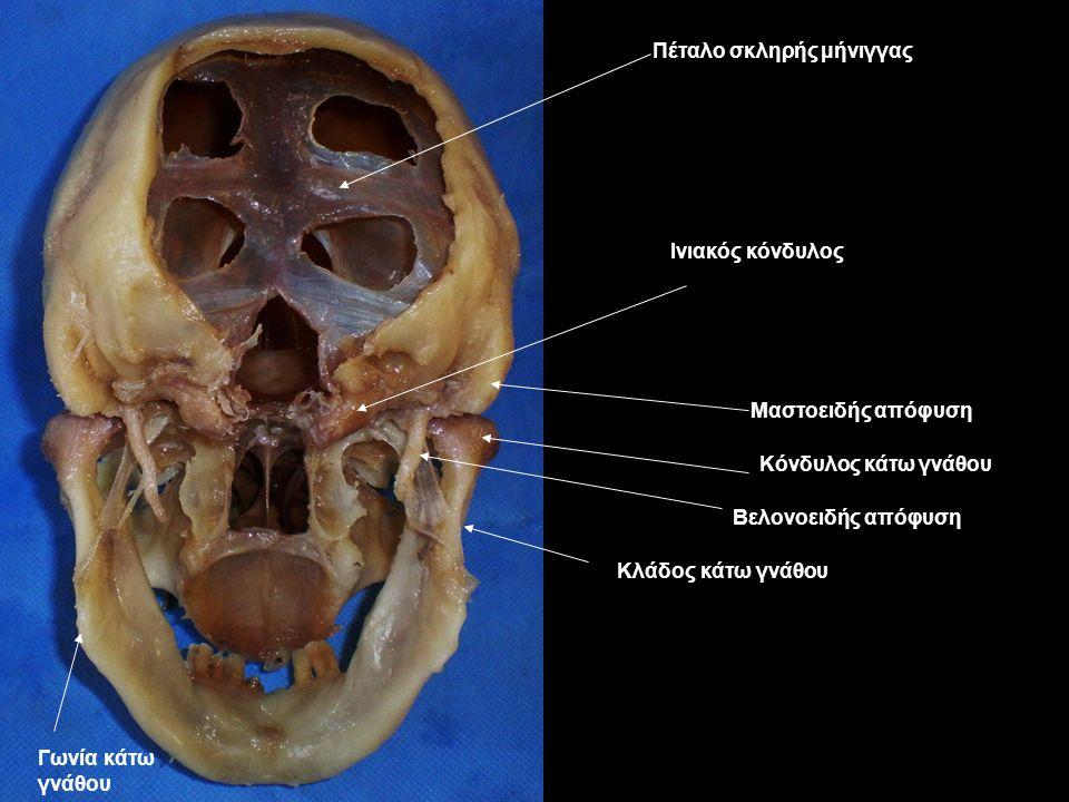 Πέταλο σκληρής μήνιγγας Ινιακός κόνδυλος Μαστοειδής απόφυση Βελονοειδής απόφυση Κόνδυλος κάτω γνάθου Γωνία κάτω γνάθου Κλάδος κάτω γνάθου