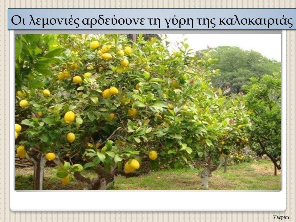 Οι λεμονιές αρδεύουνε τη γύρη της καλοκαιριάς Vaspan