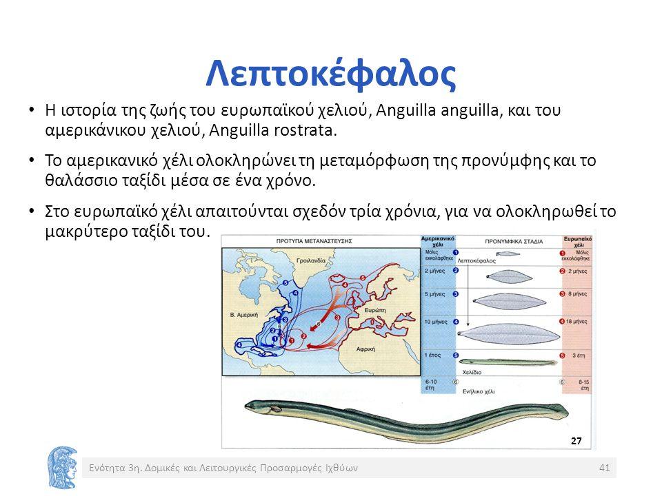 Λεπτοκέφαλος Η ιστορία της ζωής του ευρωπαϊκού χελιού, Anguilla anguilla, και του αμερικάνικου χελιού, Anguilla rostrata.