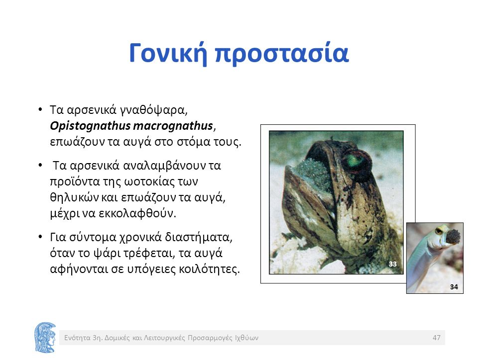 Γονική προστασία Tα αρσενικά γναθόψαρα, Opistognathus macrognathus, επωάζουν τα αυγά στο στόμα τους.