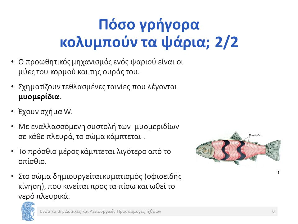 Πόσο γρήγορα κολυμπούν τα ψάρια; 2/2 Ο προωθητικός μηχανισμός ενός ψαριού είναι οι μύες του κορμού και της ουράς του.