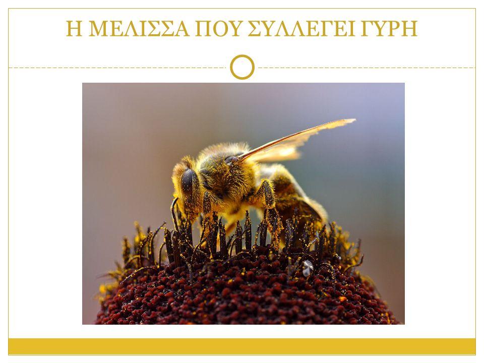 Η ΑΝΑΤΟΜΙΑ ΤΗΣ ΜΕΛΙΣΣΑΣ Το σώμα των μελισσών αποτελείται από το κεφάλι, το θώρακα και την κοιλιά.