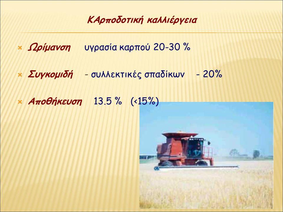 ΚΑρποδοτική καλλιέργεια  Ωρίμανση υγρασία καρπού 20-30 %  Συγκομιδή - συλλεκτικές σπαδίκων - 20%  Αποθήκευση 13.5 % (<15%)