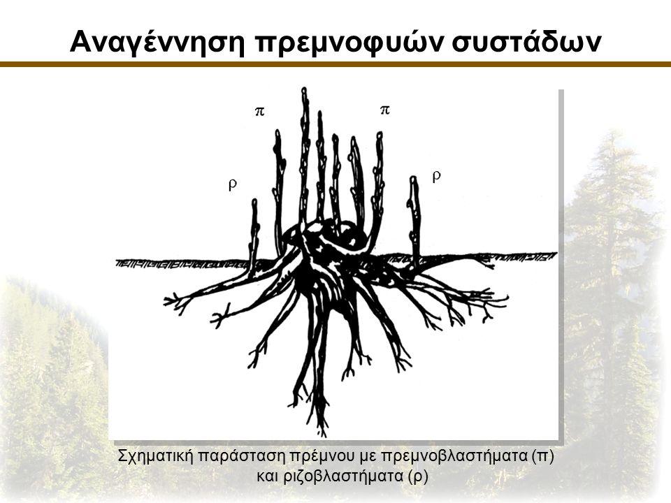 Αναγέννηση πρεμνοφυών συστάδων Σχηματική παράσταση πρέμνου με πρεμνοβλαστήματα (π) και ριζοβλαστήματα (ρ)