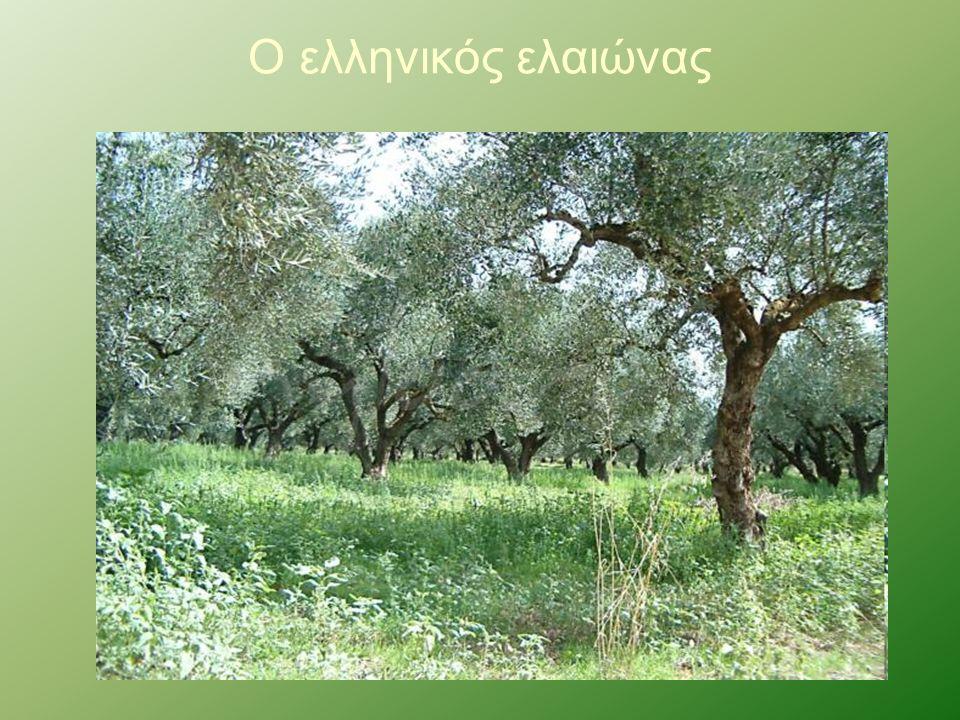Ο ελληνικός ελαιώνας