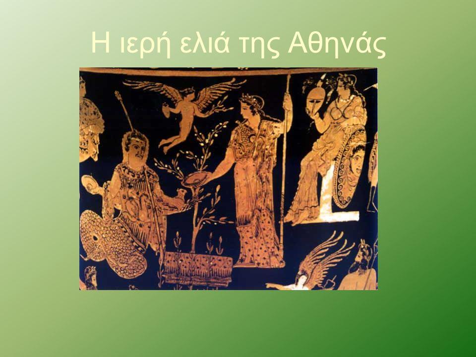 Η ιερή ελιά της Αθηνάς