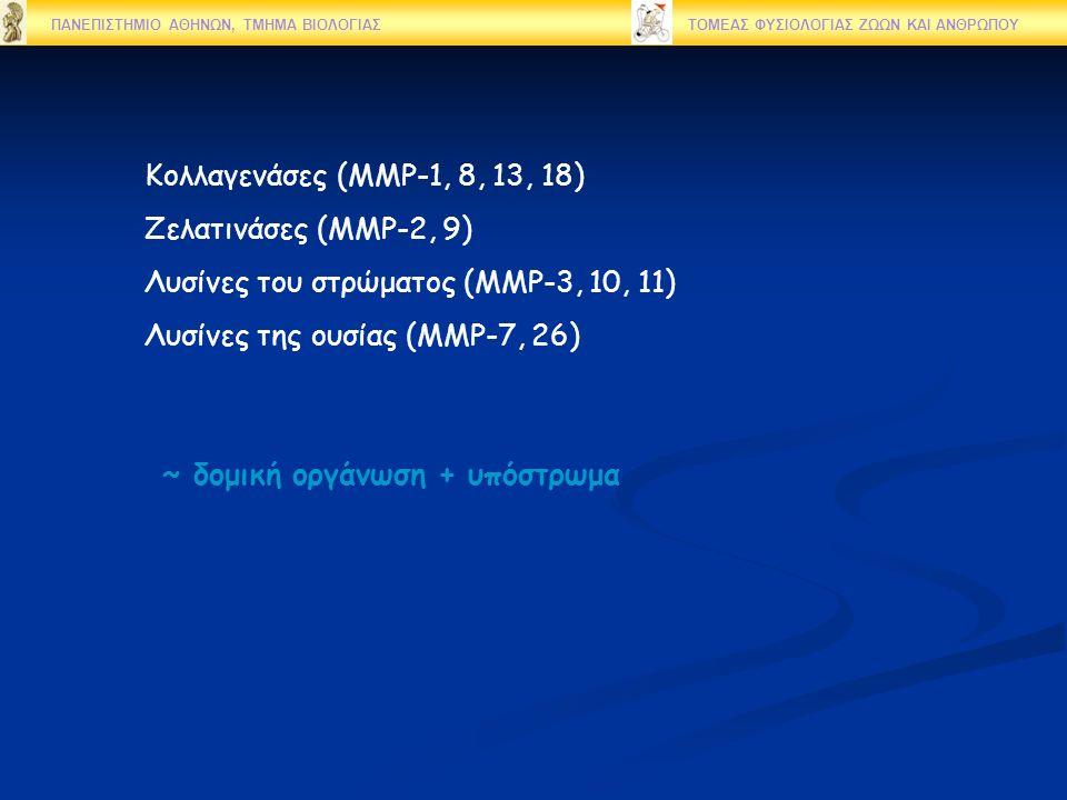 ΠΑΝΕΠΙΣΤΗΜΙΟ ΑΘΗΝΩΝ, ΤΜΗΜΑ ΒΙΟΛΟΓΙΑΣ ΤΟΜΕΑΣ ΦΥΣΙΟΛΟΓΙΑΣ ΖΩΩΝ ΚΑΙ ΑΝΘΡΩΠΟΥ Κολλαγενάσες (MMP-1, 8, 13, 18) Zελατινάσες (ΜΜP-2, 9) Λυσίνες του στρώματος (MMP-3, 10, 11) Λυσίνες της ουσίας (MMP-7, 26) ~ δομική οργάνωση + υπόστρωμα