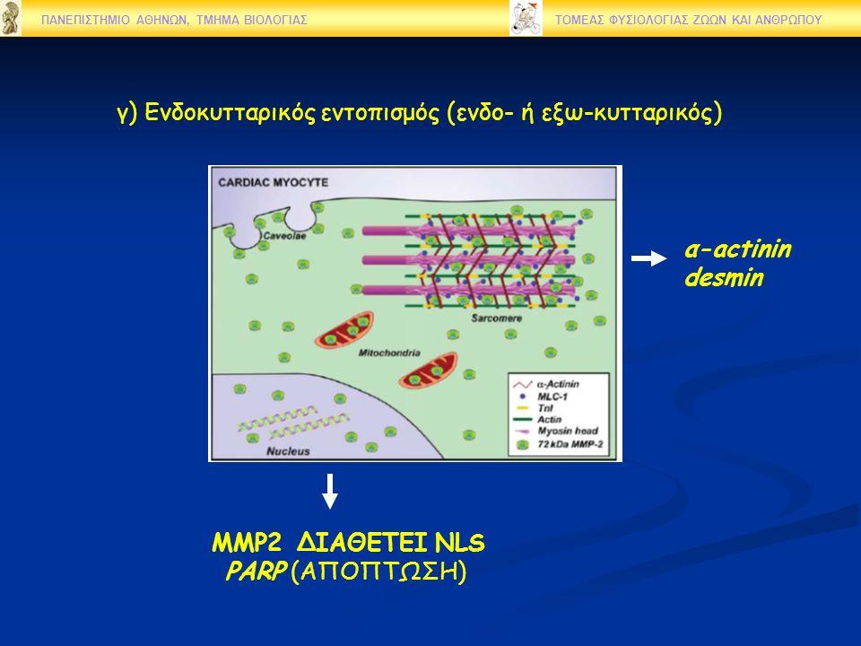 γ) Ενδοκυτταρικός εντοπισμός (ενδο- ή εξω-κυτταρικός) ΠΑΝΕΠΙΣΤΗΜΙΟ ΑΘΗΝΩΝ, ΤΜΗΜΑ ΒΙΟΛΟΓΙΑΣ ΤΟΜΕΑΣ ΦΥΣΙΟΛΟΓΙΑΣ ΖΩΩΝ ΚΑΙ ΑΝΘΡΩΠΟΥ MMP2 ΔΙΑΘΕΤΕΙ NLS PARP (ΑΠΟΠΤΩΣΗ) α-actinin desmin