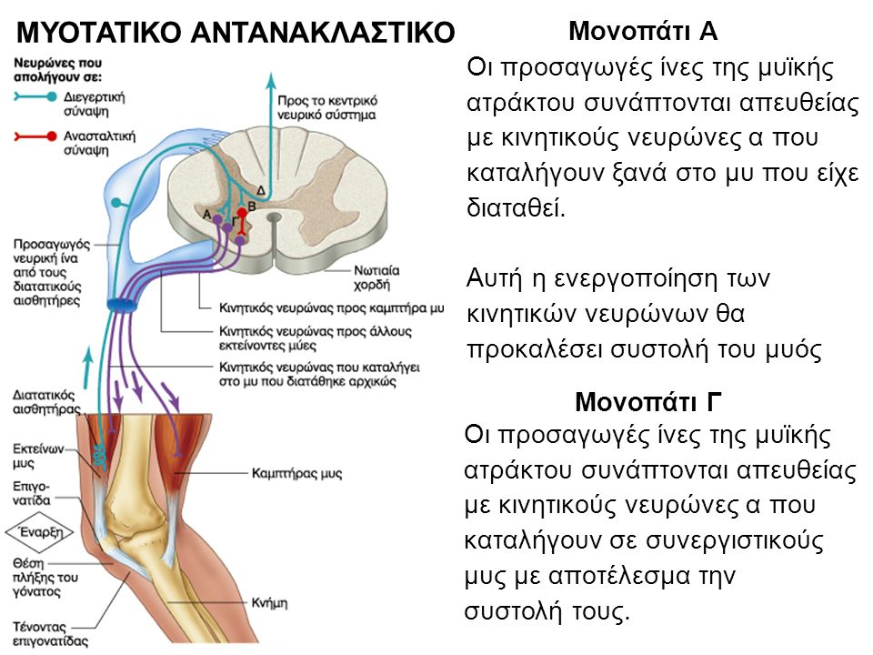 ΜΥΟΤΑΤΙΚΟ ΑΝΤΑΝΑΚΛΑΣΤΙΚΟ Μονοπάτι Α Οι προσαγωγές ίνες της μυϊκής ατράκτου συνάπτονται απευθείας με κινητικούς νευρώνες α που καταλήγουν ξανά στο μυ που είχε διαταθεί.