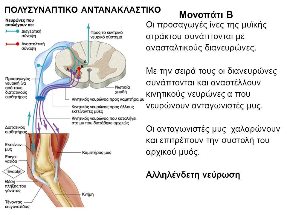 ΠΟΛΥΣΥΝΑΠΤΙΚΟ ΑΝΤΑΝΑΚΛΑΣΤΙΚΟ Μονοπάτι Β Οι προσαγωγές ίνες της μυϊκής ατράκτου συνάπτονται με ανασταλτικούς διανευρώνες.