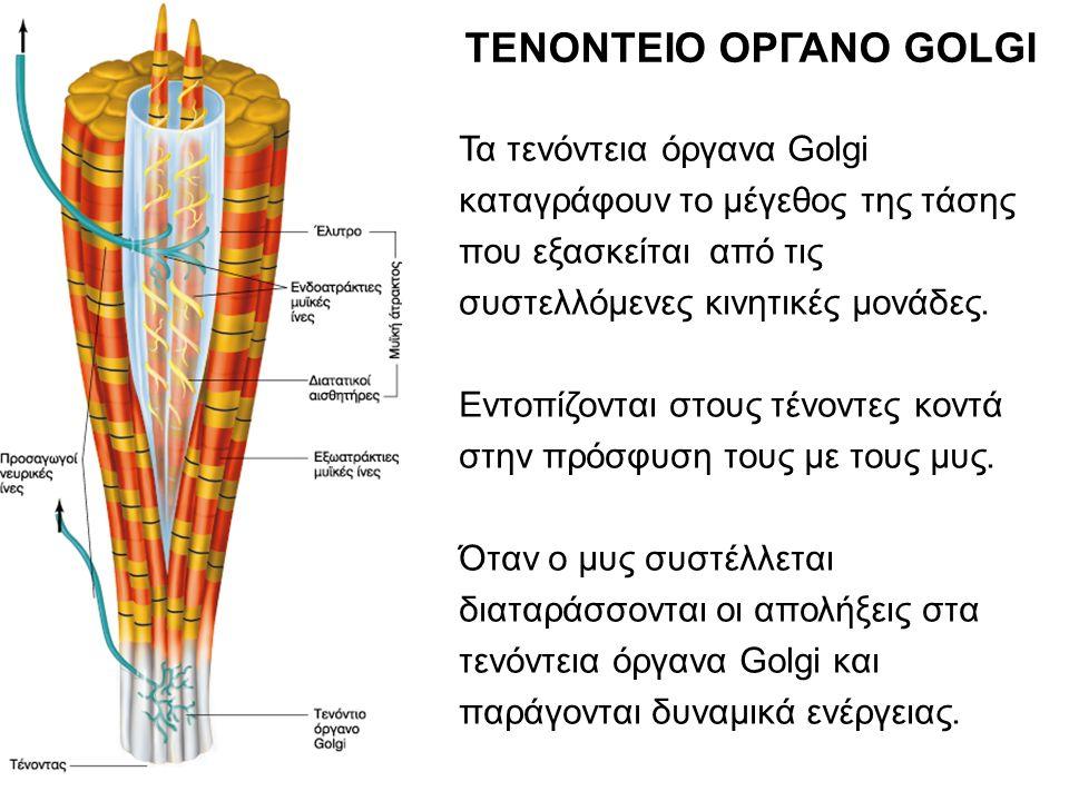 ΤΕΝΟΝΤΕΙΟ ΟΡΓΑΝΟ GOLGI Τα τενόντεια όργανα Golgi καταγράφουν το μέγεθος της τάσης που εξασκείται από τις συστελλόμενες κινητικές μονάδες. Εντοπίζονται