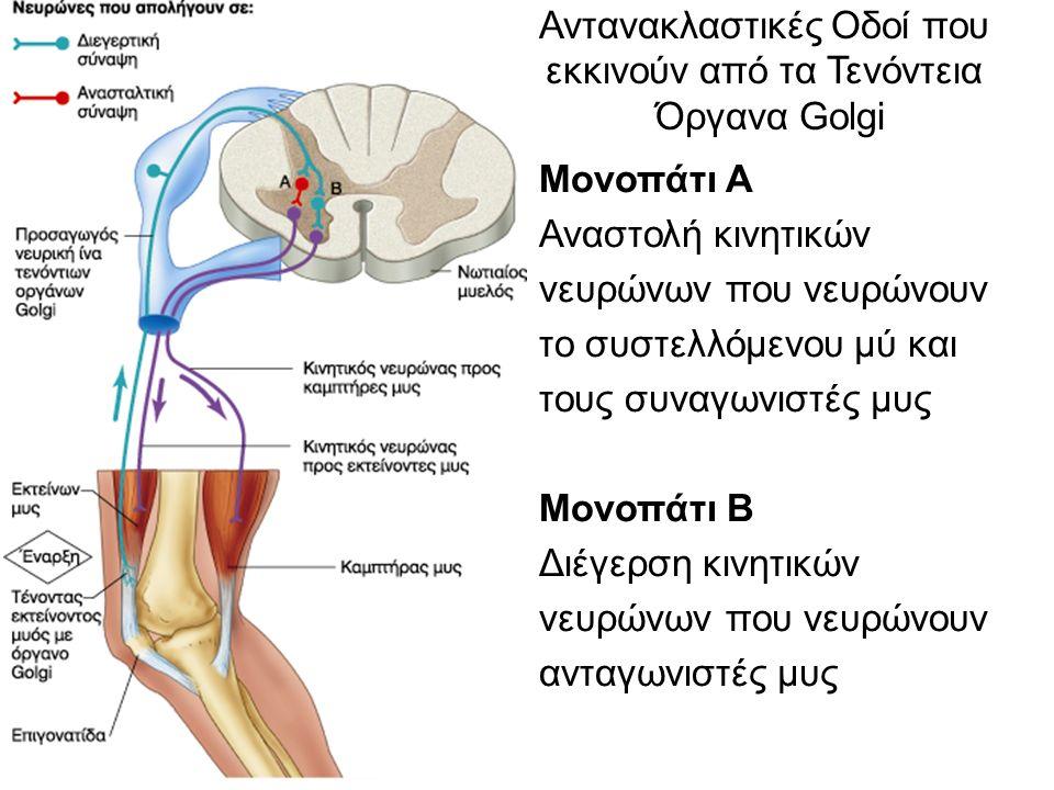Αντανακλαστικές Οδοί που εκκινούν από τα Τενόντεια Όργανα Golgi Μονοπάτι Α Αναστολή κινητικών νευρώνων που νευρώνουν το συστελλόμενου μύ και τους συναγωνιστές μυς Μονοπάτι Β Διέγερση κινητικών νευρώνων που νευρώνουν ανταγωνιστές μυς