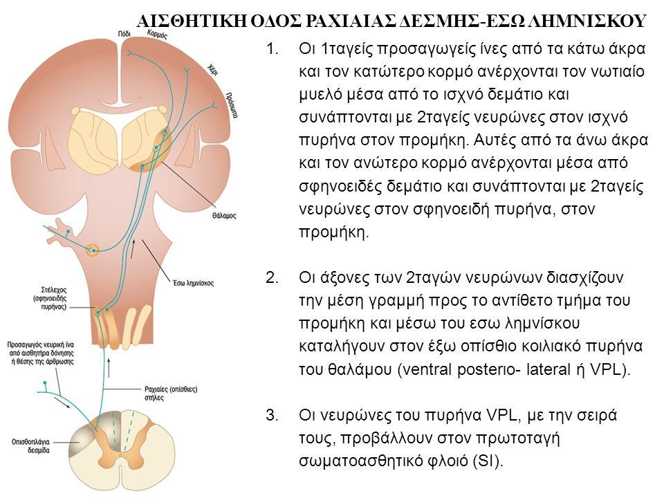 1.Οι 1ταγείς προσαγωγείς ίνες από τα κάτω άκρα και τον κατώτερο κορμό ανέρχονται τον νωτιαίο μυελό μέσα από το ισχνό δεμάτιο και συνάπτονται με 2ταγείς νευρώνες στον ισχνό πυρήνα στον προμήκη.