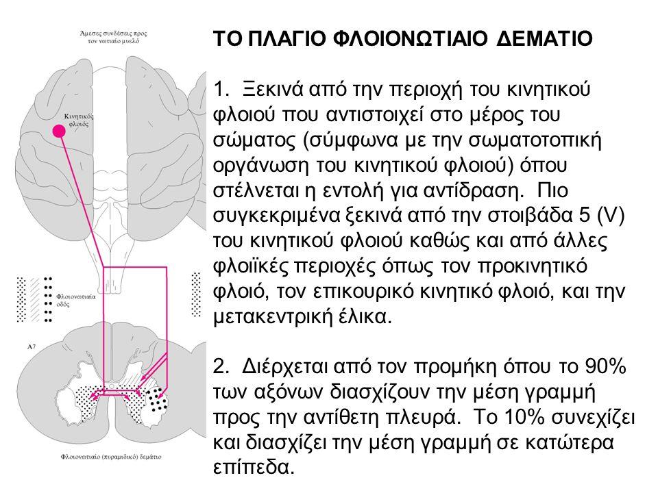 ΤΟ ΠΛΑΓΙΟ ΦΛΟΙΟΝΩΤΙΑΙΟ ΔΕΜΑΤΙΟ 1. Ξεκινά από την περιοχή του κινητικού φλοιού που αντιστοιχεί στο μέρος του σώματος (σύμφωνα με την σωματοτοπική οργάν