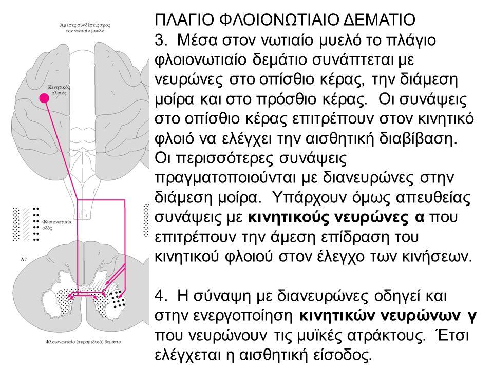 ΠΛΑΓΙΟ ΦΛΟΙΟΝΩΤΙΑΙΟ ΔΕΜΑΤΙΟ 3. Μέσα στον νωτιαίο μυελό το πλάγιο φλοιονωτιαίο δεμάτιο συνάπτεται με νευρώνες στο οπίσθιο κέρας, την διάμεση μοίρα και