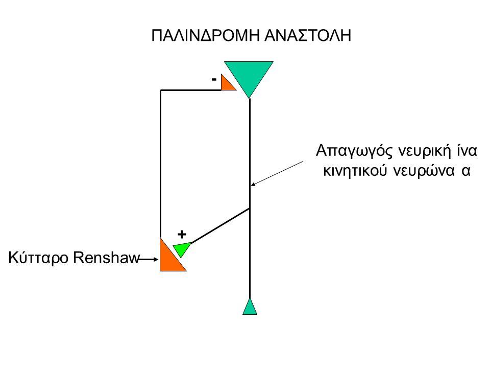 ΠΑΛΙΝΔΡΟΜΗ ΑΝΑΣΤΟΛΗ Απαγωγός νευρική ίνα κινητικού νευρώνα α Κύτταρο Renshaw + -