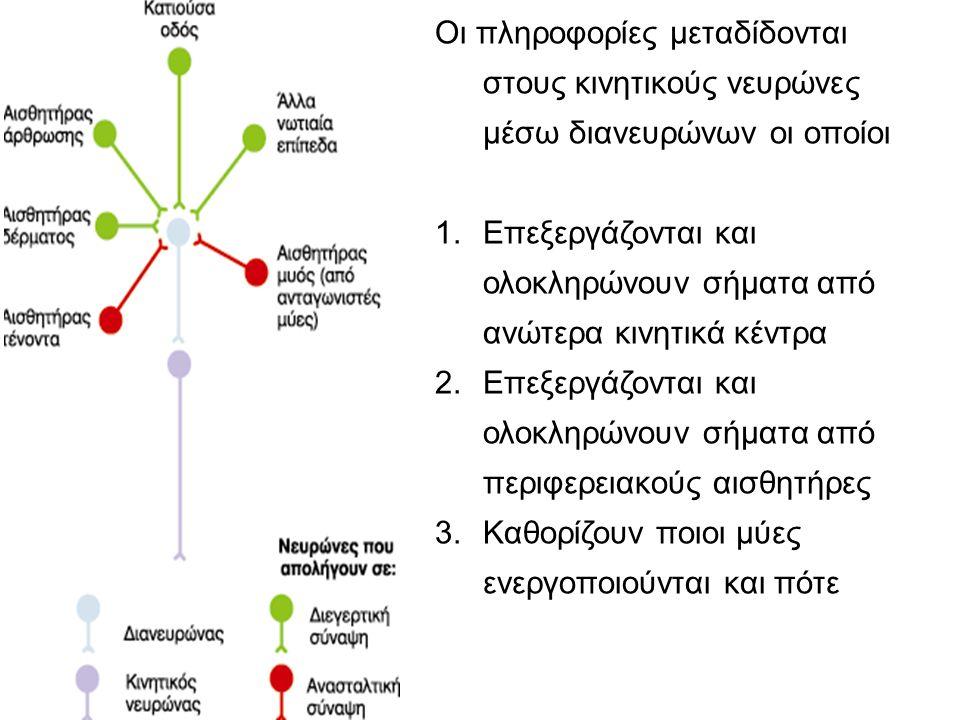 Οι πληροφορίες μεταδίδονται στους κινητικούς νευρώνες μέσω διανευρώνων οι οποίοι 1.Επεξεργάζονται και ολοκληρώνουν σήματα από ανώτερα κινητικά κέντρα 2.Επεξεργάζονται και ολοκληρώνουν σήματα από περιφερειακούς αισθητήρες 3.Καθορίζουν ποιοι μύες ενεργοποιούνται και πότε