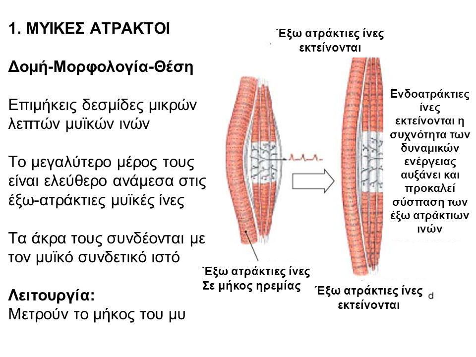 1. ΜΥΙΚΕΣ ΑΤΡΑΚΤΟΙ Δομή-Μορφολογία-Θέση Επιμήκεις δεσμίδες μικρών λεπτών μυϊκών ινών Το μεγαλύτερο μέρος τους είναι ελεύθερο ανάμεσα στις έξω-ατράκτιε