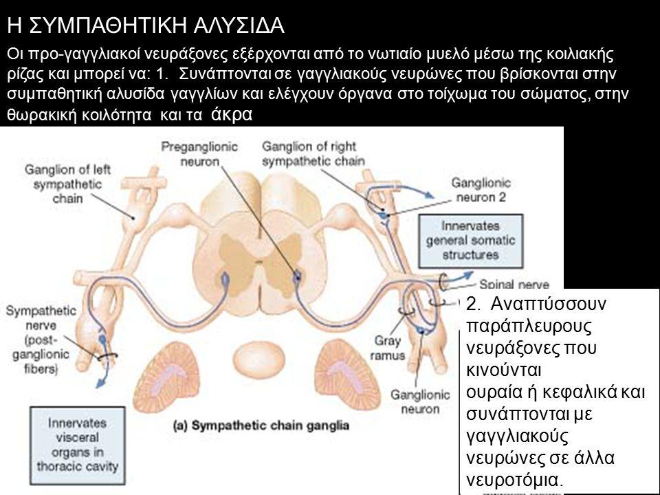 Η ΣΥΜΠΑΘΗΤΙΚΗ ΑΛΥΣΙΔΑ Οι προ-γαγγλιακοί νευράξονες εξέρχονται από το νωτιαίο μυελό μέσω της κοιλιακής ρίζας και μπορεί να: 1.