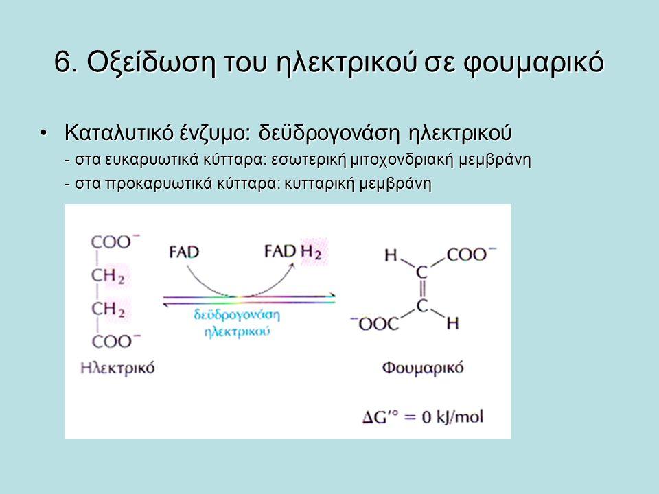 6. Οξείδωση του ηλεκτρικού σε φουμαρικό Καταλυτικό ένζυμο: δεϋδρογονάση ηλεκτρικούΚαταλυτικό ένζυμο: δεϋδρογονάση ηλεκτρικού - στα ευκαρυωτικά κύτταρα