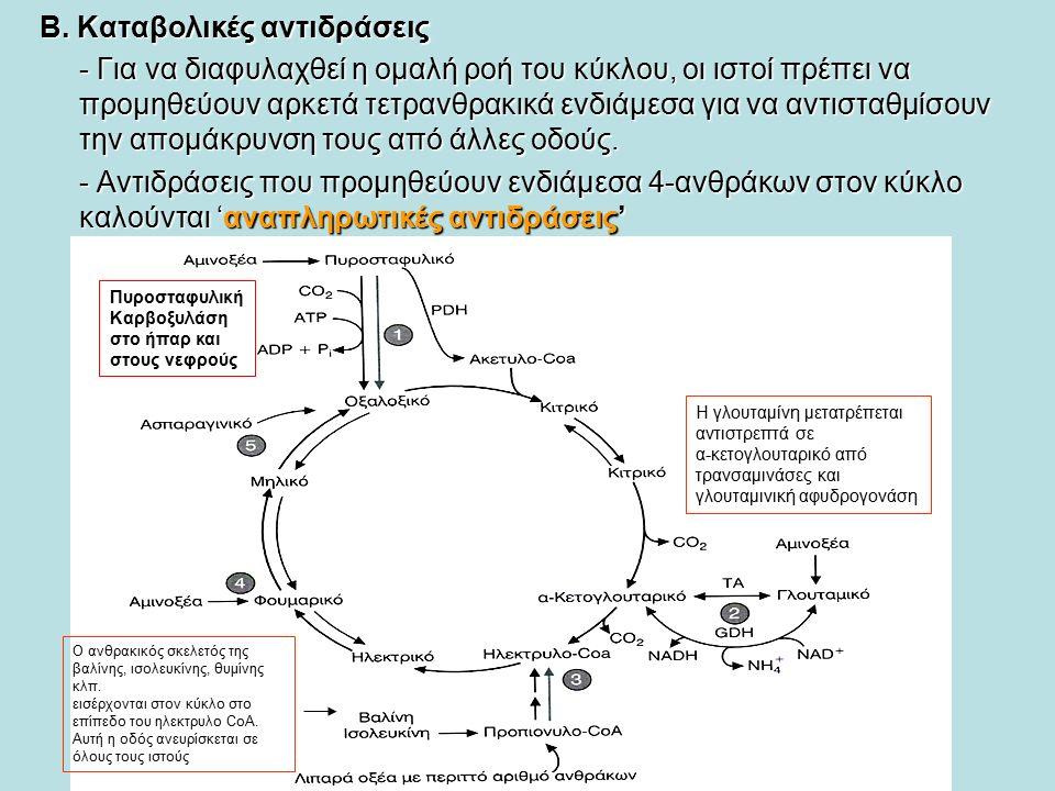 Β. Καταβολικές αντιδράσεις - Για να διαφυλαχθεί η ομαλή ροή του κύκλου, οι ιστοί πρέπει να προμηθεύουν αρκετά τετρανθρακικά ενδιάμεσα για να αντισταθμ
