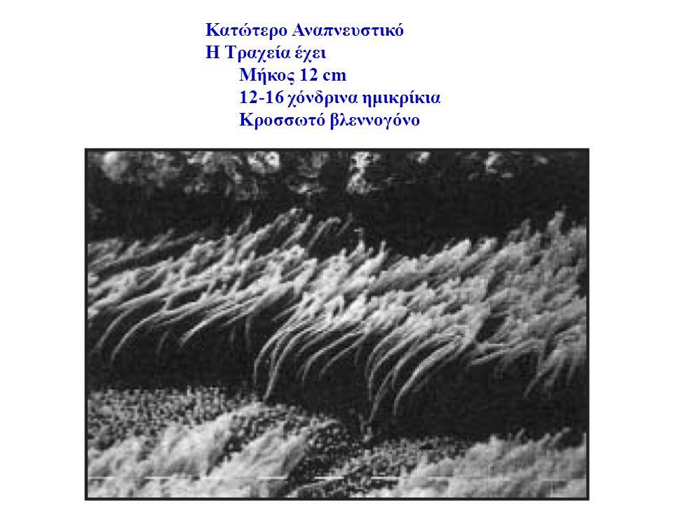 Κατώτερο Αναπνευστικό Η Τραχεία έχει Μήκος 12 cm 12-16 χόνδρινα ημικρίκια Κροσσωτό βλεννογόνο