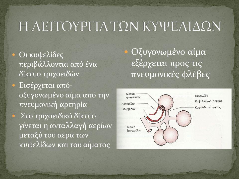 Οι κυψελίδες περιβάλλονται από ένα δίκτυο τριχοειδών Εισέρχεται από- οξυγονωμένο αίμα από την πνευμονική αρτηρία Στο τριχοειδικό δίκτυο γίνεται η ανταλλαγή αερίων μεταξύ του αέρα των κυψελίδων και του αίματος Οξυγονωμένο αίμα εξέρχεται προς τις πνευμονικές φλέβες