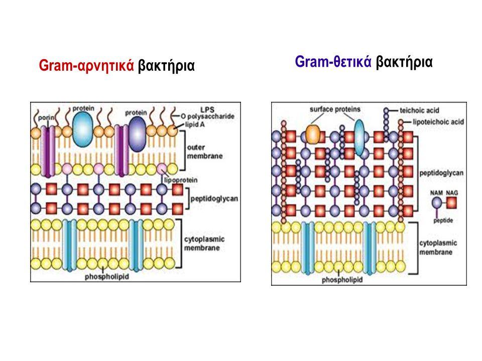 Gram-θετικά βακτήρια Gram-αρνητικά βακτήρια