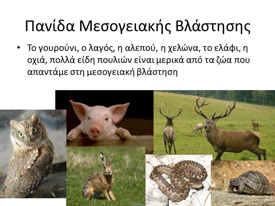 Πανίδα Μεσογειακής Βλάστησης Το γουρούνι, ο λαγός, η αλεπού, η χελώνα, το ελάφι, η οχιά, πολλά είδη πουλιών είναι μερικά από τα ζώα που απαντάμε στη μ