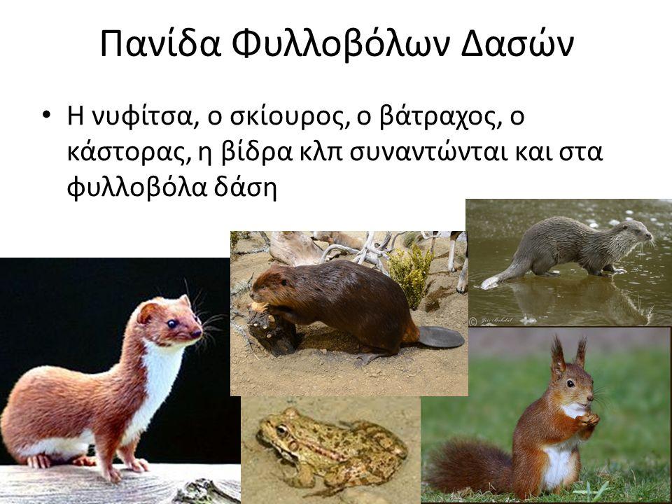 Πανίδα Φυλλοβόλων Δασών Η νυφίτσα, ο σκίουρος, ο βάτραχος, ο κάστορας, η βίδρα κλπ συναντώνται και στα φυλλοβόλα δάση