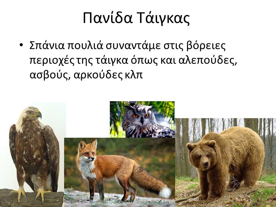 Πανίδα Τάιγκας Σπάνια πουλιά συναντάμε στις βόρειες περιοχές της τάιγκα όπως και αλεπούδες, ασβούς, αρκούδες κλπ
