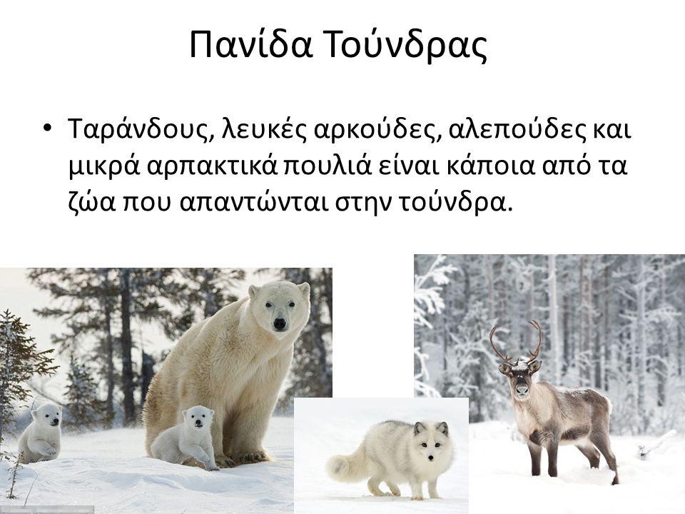 Πανίδα Τούνδρας Ταράνδους, λευκές αρκούδες, αλεπούδες και μικρά αρπακτικά πουλιά είναι κάποια από τα ζώα που απαντώνται στην τούνδρα.