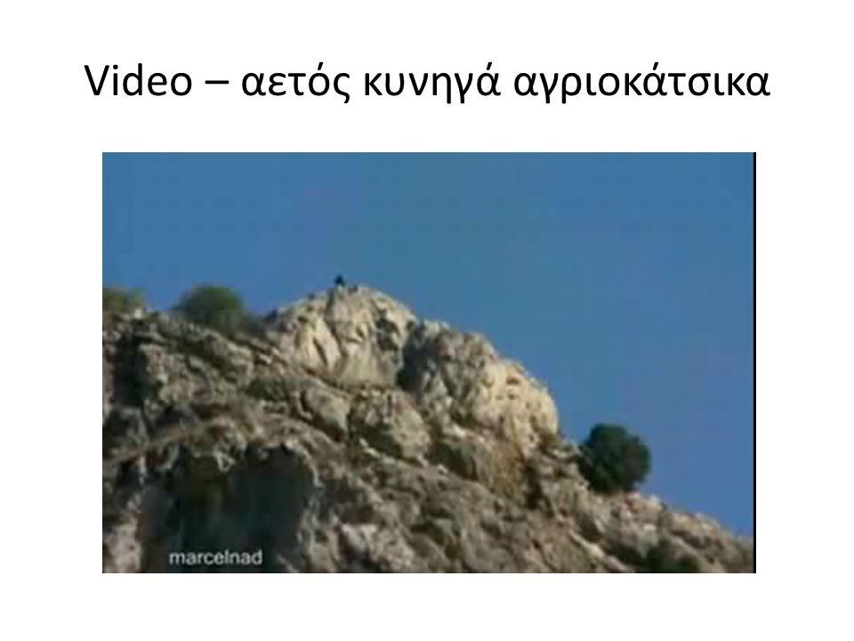 Video – αετός κυνηγά αγριοκάτσικα
