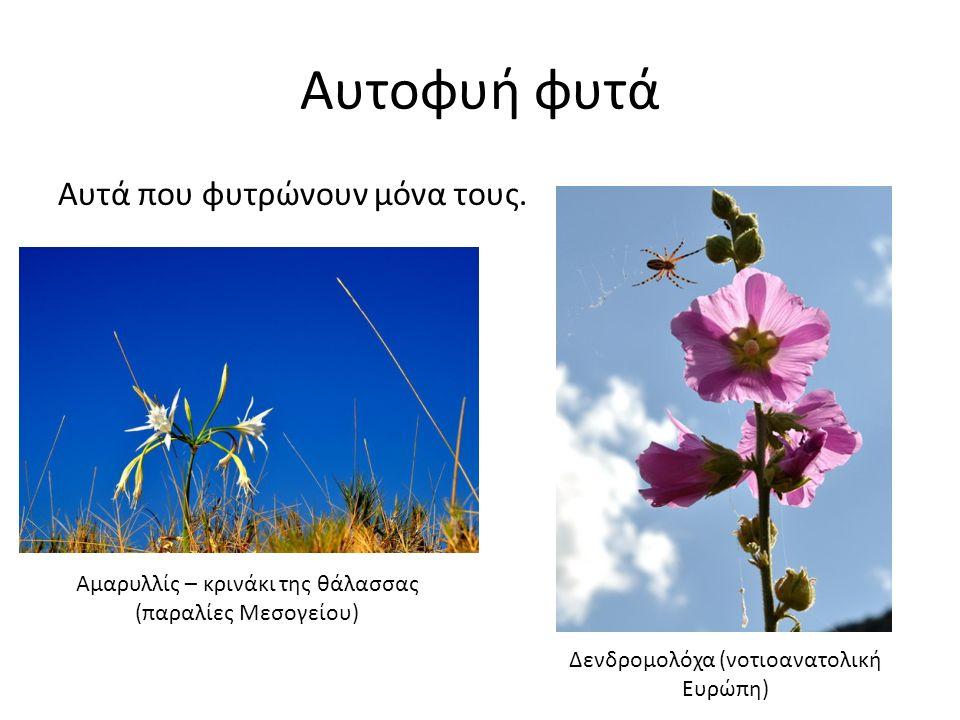 Αυτοφυή φυτά Αυτά που φυτρώνουν μόνα τους. Αμαρυλλίς – κρινάκι της θάλασσας (παραλίες Μεσογείου) Δενδρομολόχα (νοτιοανατολική Ευρώπη)