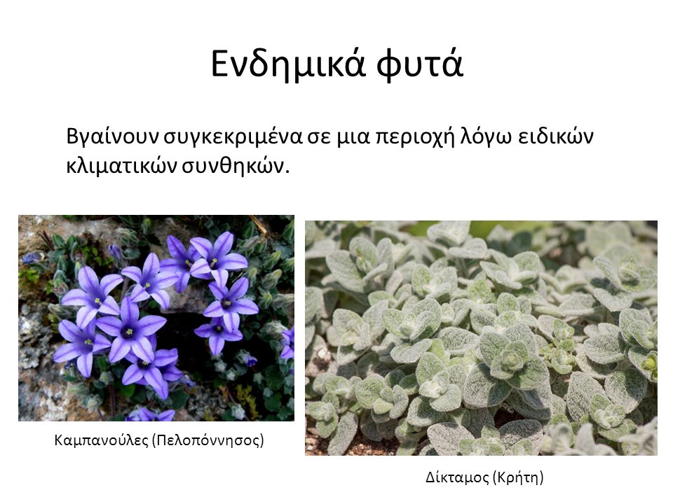Ενδημικά φυτά Βγαίνουν συγκεκριμένα σε μια περιοχή λόγω ειδικών κλιματικών συνθηκών. Καμπανούλες (Πελοπόννησος) Δίκταμος (Κρήτη)