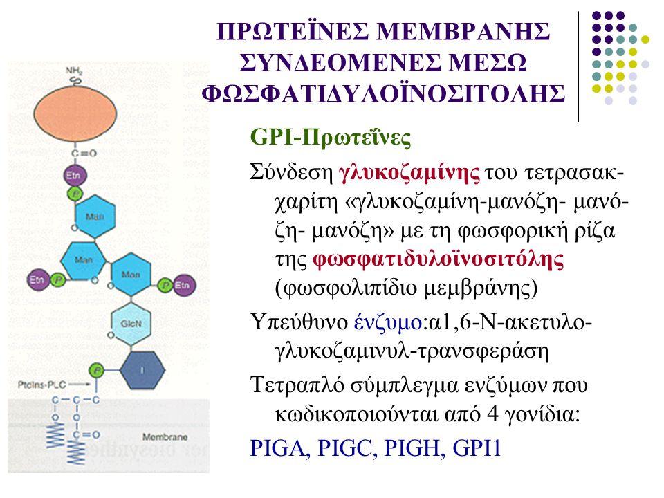 ΠΡΩΤΕΪΝΕΣ ΜΕΜΒΡΑΝΗΣ ΣΥΝΔΕΟΜΕΝΕΣ ΜΕΣΩ ΦΩΣΦΑΤΙΔΥΛΟΪΝΟΣΙΤΟΛΗΣ GPI-Πρωτεΐνες Σύνδεση γλυκοζαμίνης του τετρασακ- χαρίτη «γλυκοζαμίνη-μανόζη- μανό- ζη- μανό