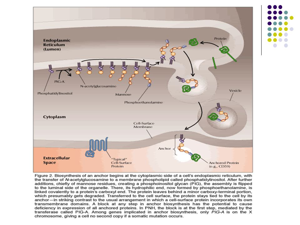 ΠΑΘΟΓΕΝΕΙΑ-ΜΟΡΙΑΚΗ ΒΛΑΒΗ (1) Μερική ή ολική απουσία ομάδας πρωτεϊνών της κυτταρικής μεμβράνης ( GPI ) Ι) Πρωτεΐνες ρυθμιστικές της δράσης του συμπληρώματος 1) Παράγων επιτάχυνσης αδρανοποίησης του συμπληρώματος ( Decay Accelerating Factor, DAF –CD55) κονβερτάσης Απουσία του => σταθερή και μακρά παρουσία της κονβερτάσης στην μεμβράνη => λύση κυττάρων => αιμόλυση 2) Αναστολέας λύσης κυτταρικής μεμβράνης ( Membrane Inhibitor of Reactive Lysis, MIRL-CD59 ) 3) 3) C8 συνδεδεμένη πρωτεΐνη =>ΑΙΜΟΛΥΣΗ